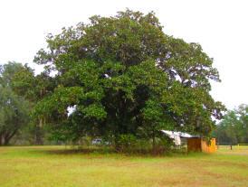 Magnolia_grandiflora_Tree